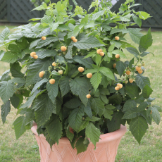 Himbeere, Summer Lovers® Patio Gold