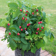 Himbeere, Summer Lovers® Patio Red